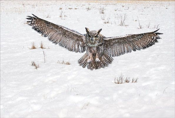 Eagle Owl in Snowstorm by Ann Miles