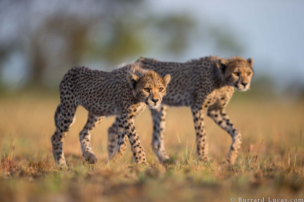 Photograph of Cheetah Cubs taken by Will Burrard Lucas