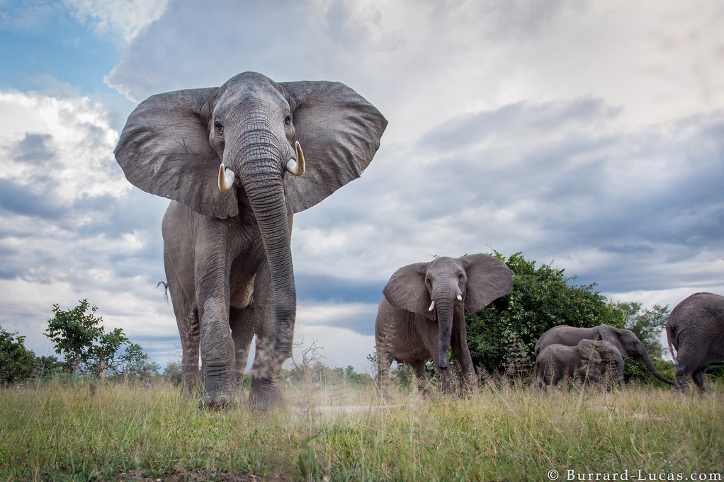 A photograph of Elephants taken by Will Burrard Lucas