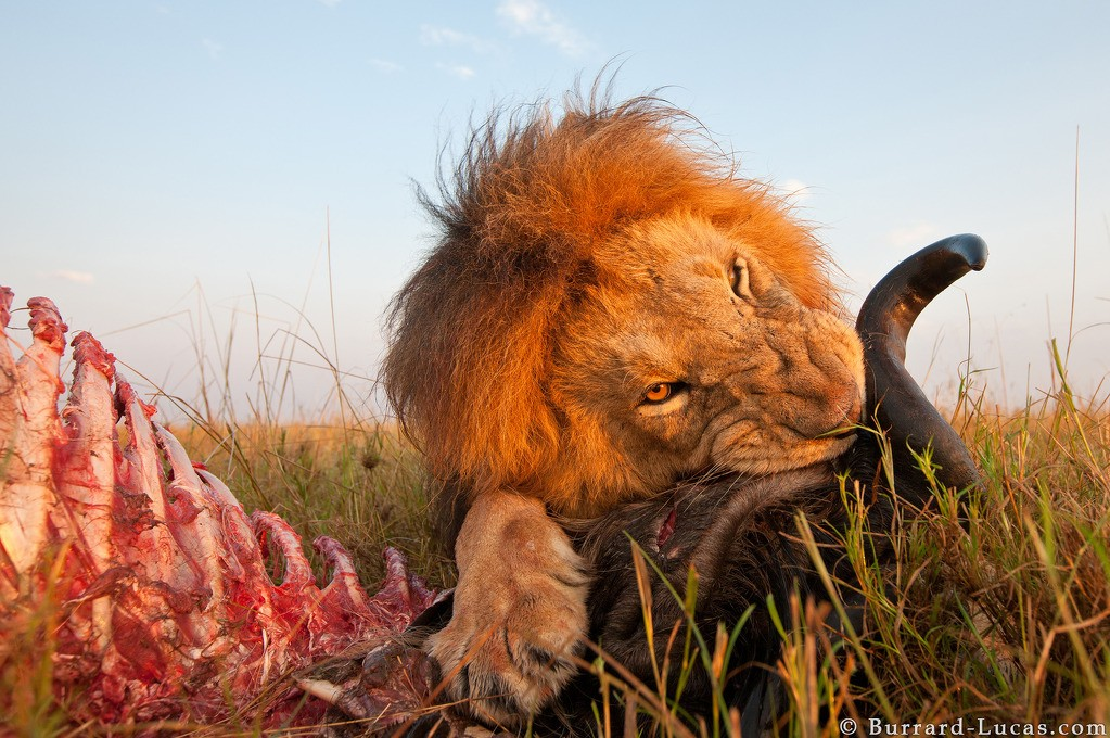 Photograph of a male lion eating a wildebeest in Kenya's Masai Mara National Reserve taken by Will Burrard Lucas