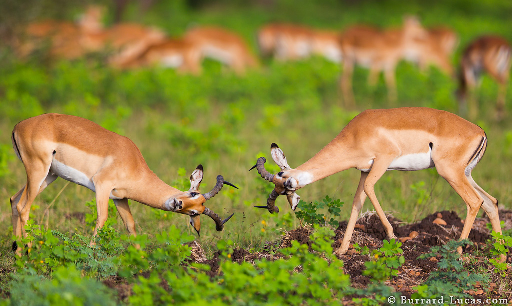 A photograph of an Impala Fight by Will Burrard LucasImpala Fight taken by Will Burrard Lucas