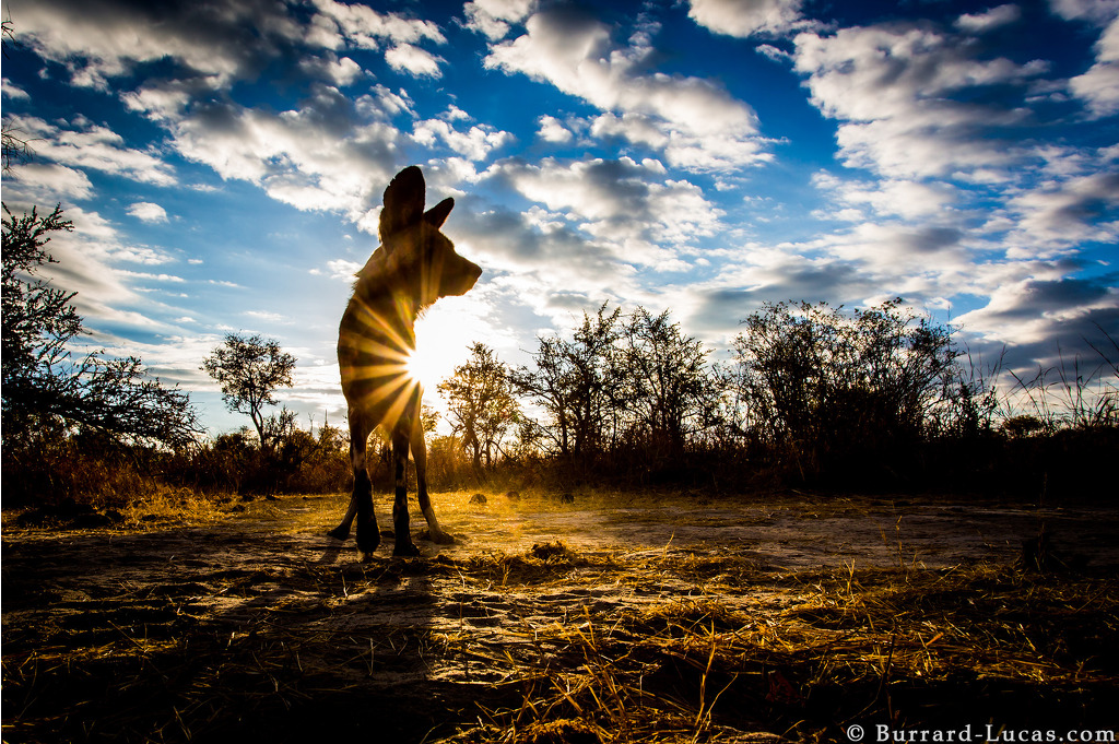 Photograph of African Wild Dogs taken by Will Burrard Lucas