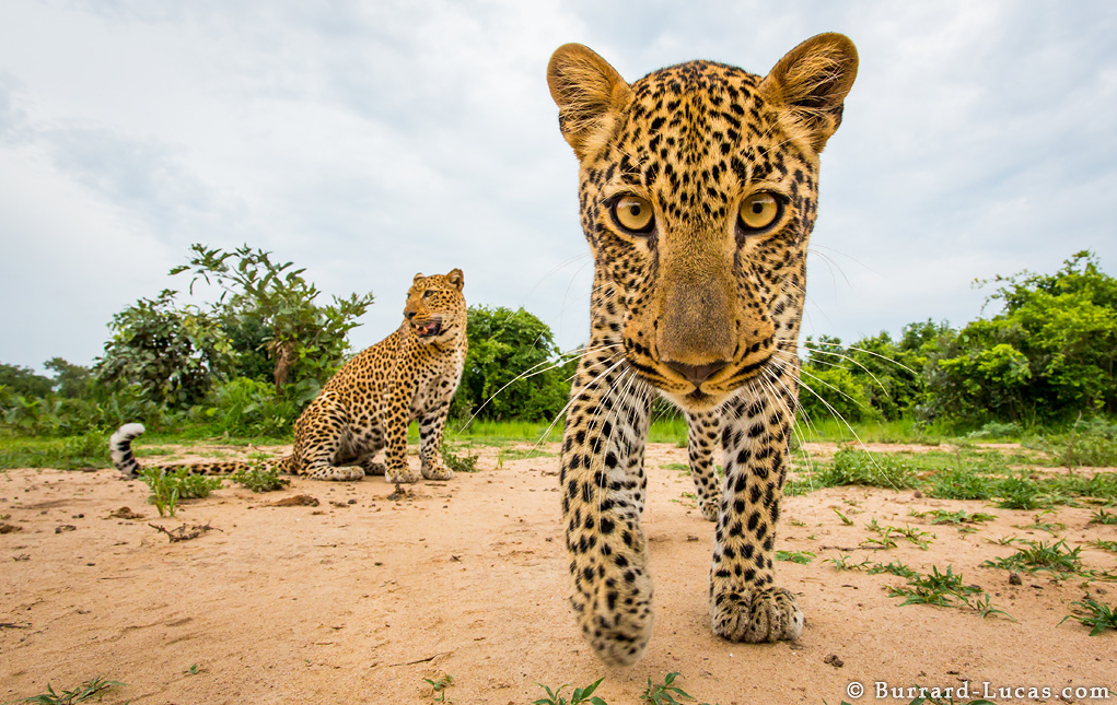 A photograph of a Leopard Staring into the camera taken by Will Burrard Lucas