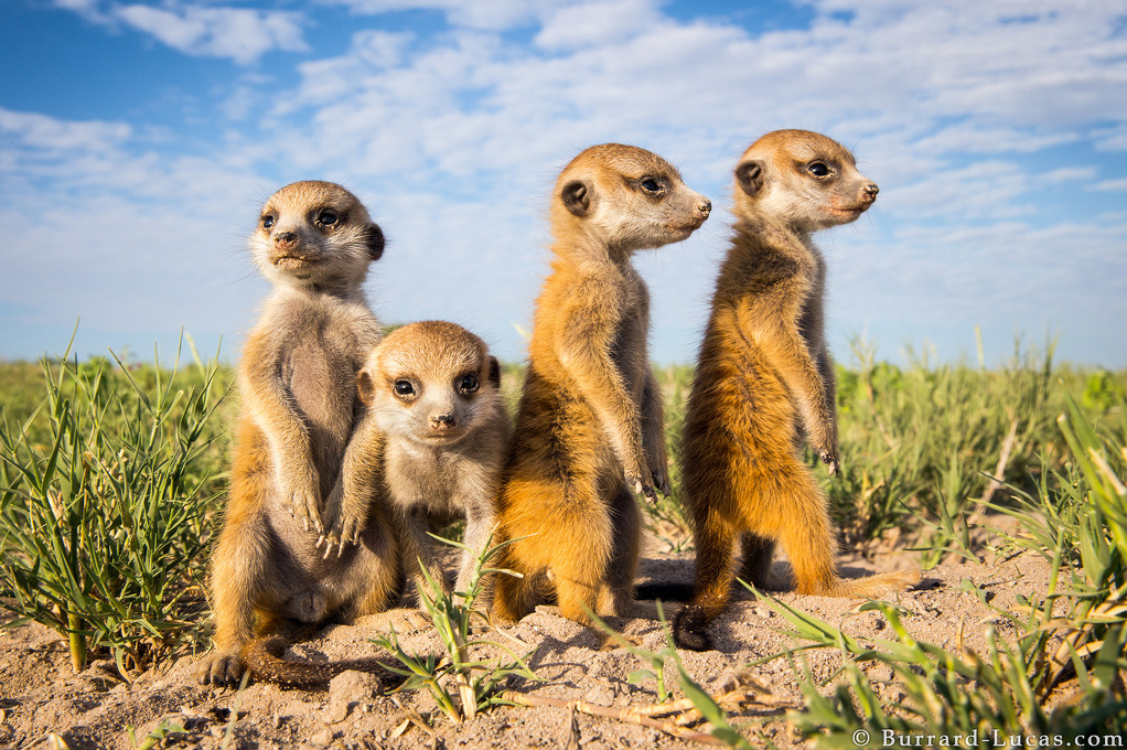 A photograph of Meerkat Babies taken by Will Burrard Lucas