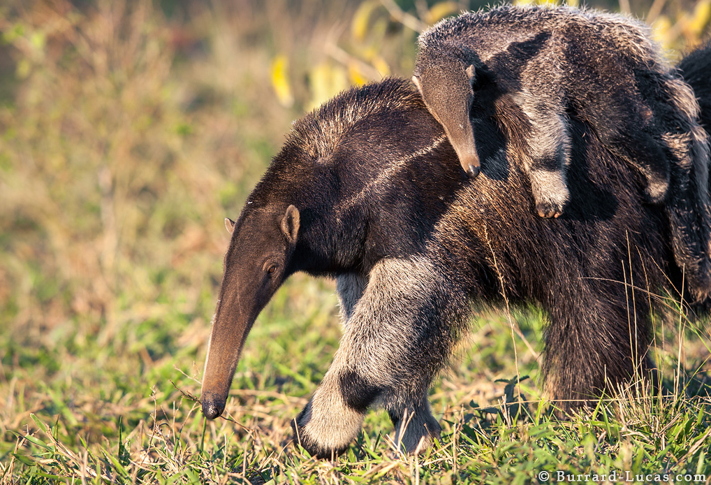 Photograph of a Mother & Baby Anteater taken by Will Burrard Lucas