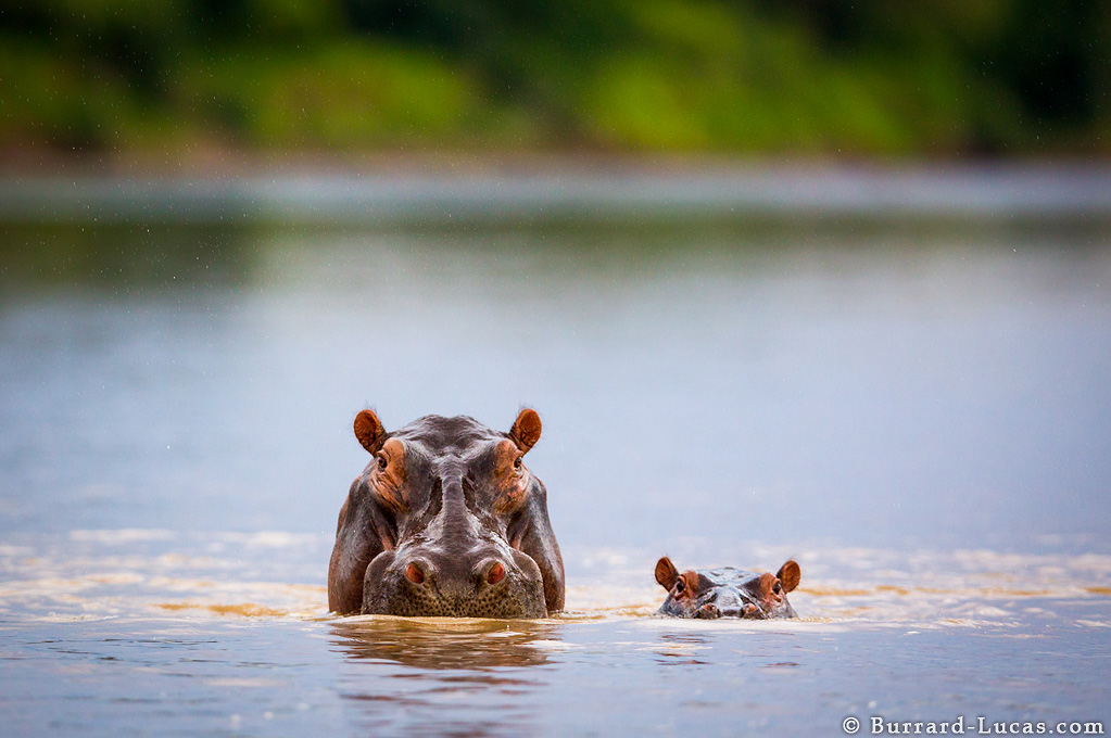 Photograph of a Mum & Baby Hippo taken by Will Burrard Lucas