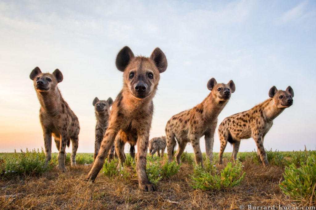 A photograph of a clan of hyenas taken by Will Burrard Lucas