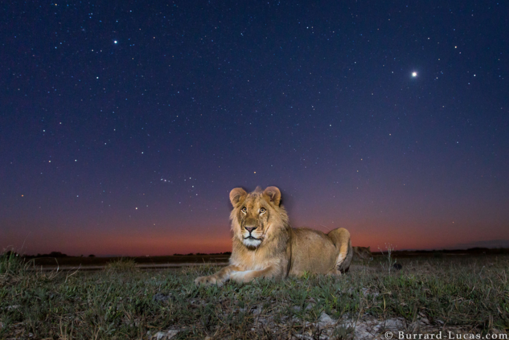 Photograph of a lion at Twilight taken by Will Burrard Lucas