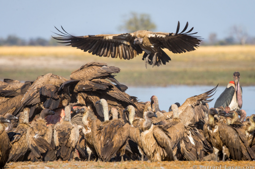 Photograph of a Vulture Landing taken by Will Burrard Lucas