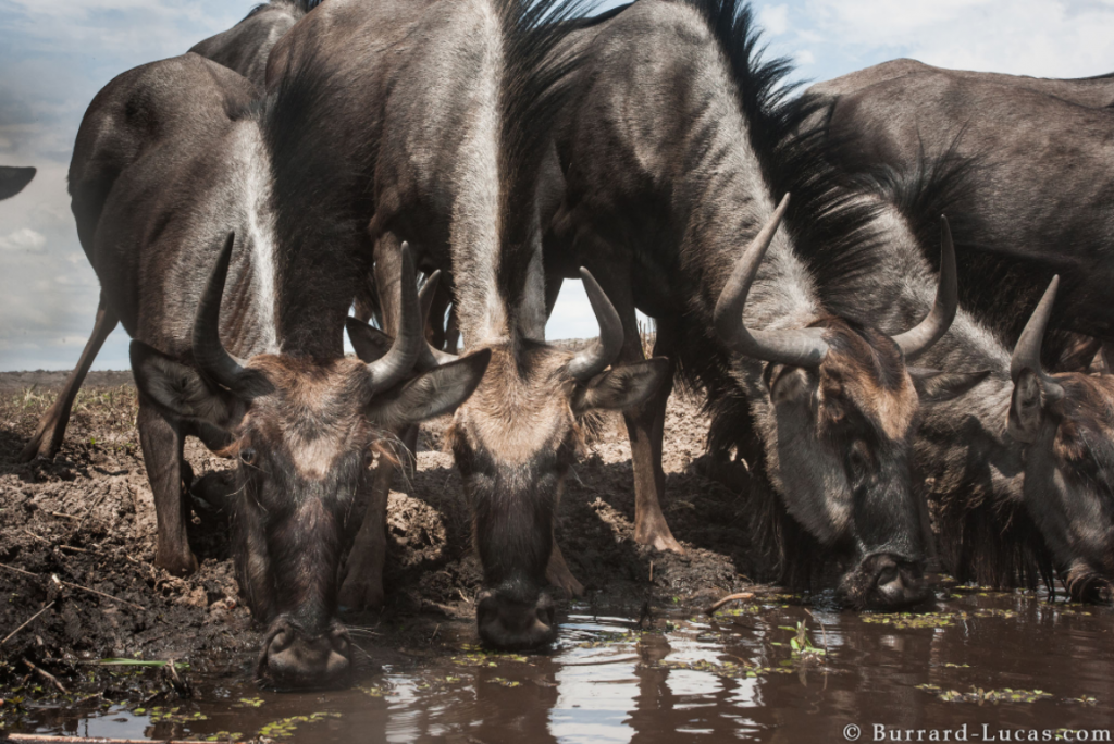 A photograph of Wildebeast drinking taken by Will Burrard Lucas