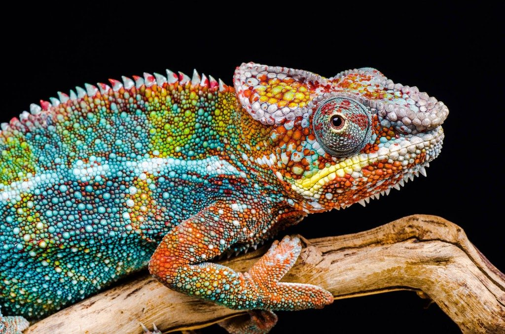 Ian Cook chameleon