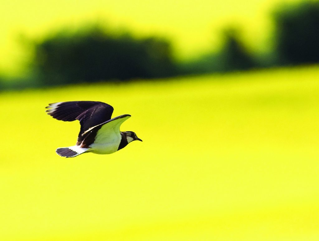 lapwing flying over fields of rape.